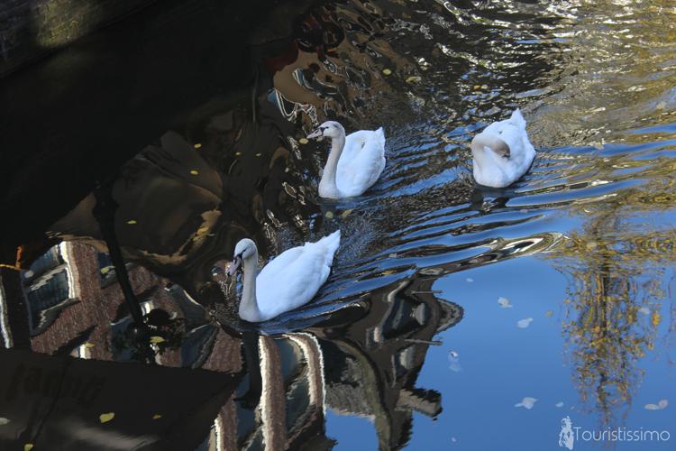 Des cygnes à Amsterdam