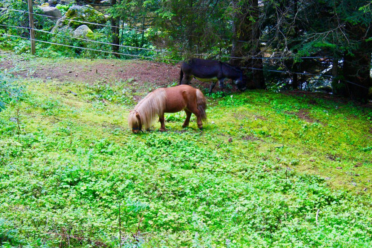 poney de sheteland Parc Alpha Saint Martin Vesubie